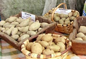 Patata de siembra